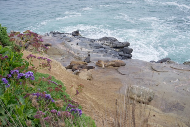 La_Jolla_Coves_Seals